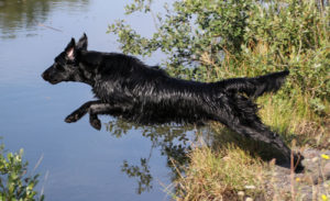 FlatcoatedRetriever-NEQ2019-RebelJump