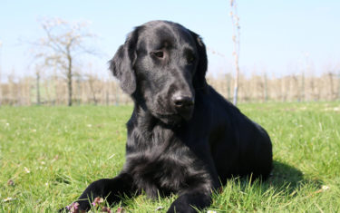 FlatcoatedRetriever-Rebel2019-Down