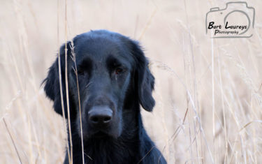 FlatcoatedRetriever-Rebel2019-Front