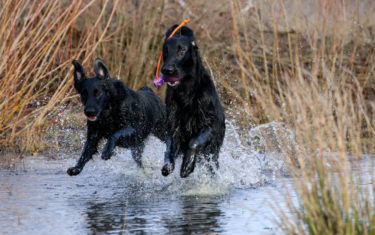 FlatcoatedRetriever-Rebel2019-HuntRunning