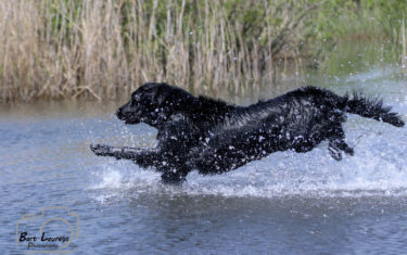 FlatcoatedRetriever-Rebel2019-Jump