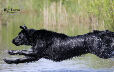 FlatcoatedRetriever-Rebel2019-JumpWtaerHunt