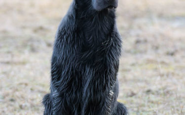 FlatcoatedRetriever-Rebel2019-Sit1