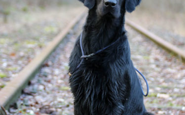 FlatcoatedRetriever-Rebel2019-SitRail