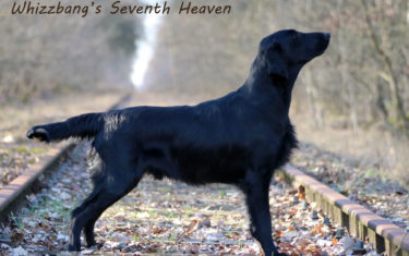 FlatcoatedRetriever-Rebel2019-Stand2