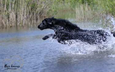 FlatcoatedRetriever-Rebel2019-Water