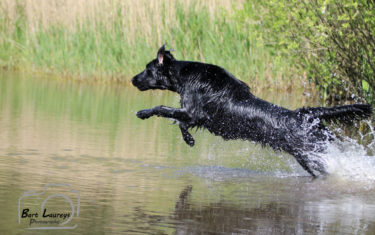 FlatcoatedRetriever-Rebel2019-WaterJump