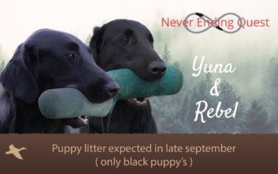 FlatcoatedRetriever-Pups2019-RebelYunaHeader