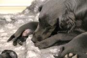 FlatcoatedRetriever-Nest2020-Week2-PupsYuna