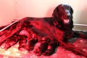 FlatcoatedRetriever-Nest2021-puppys